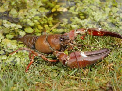 Signal crayfish image via www.biodiversityireland.ie